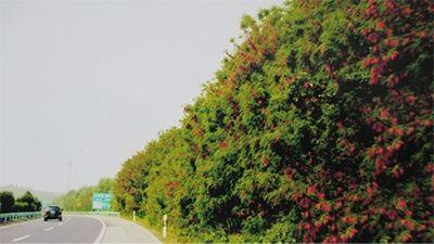 低碳发展大叶槐种植