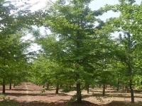银杏树苗培育