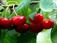 大樱桃营养价值