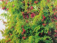 大叶槐绿化范围