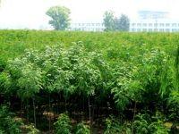 大叶槐绿化基地树种