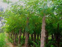 大叶槐绿化园林