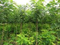 优质大叶槐绿化植株